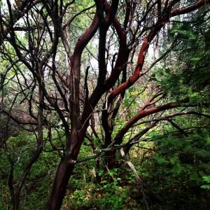manzanita forest